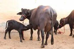 Buffalo in Karnal, भैंस, करनाल - Latest Price & Mandi Rates