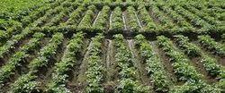 Botanical Pesticides