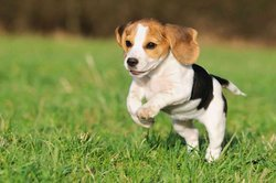 Beagle dogs suppliers wholesalers traders exporters beagle puppy voltagebd Choice Image