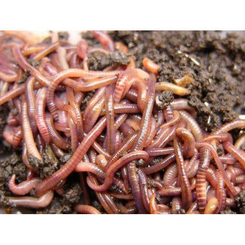 earthworms eisenia fetida usage vermicomposting rs 250 box id