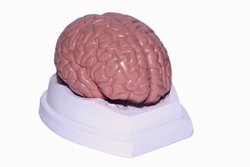Kay Kay Brain Model