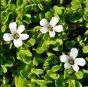 Natural Brahmi Herb Extract/ Bacopa Monniera Extract Powder