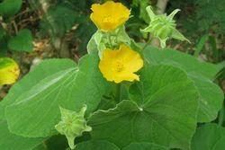 Ipomoea Carnea   Patparganj, New Delhi   Mother Herbs (P) Ltd   ID