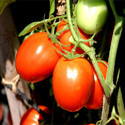 Hybrid Tomato Seeds TM- 1504