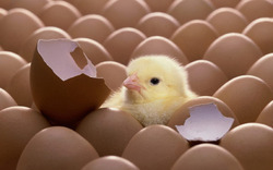 Male Farm Broiler Chick, Packaging Type: Corrugated Chick Box