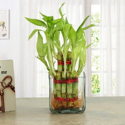 Lucky Bamboo Plant at Best Price in India