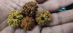 Original Seed Brown 10 Mukhi Rudraksha, 3-4
