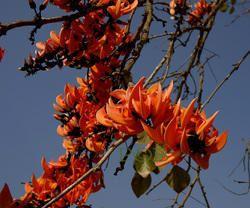 Kesu Phool (Butea Monosprma)