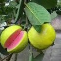 Guava Red Flavour