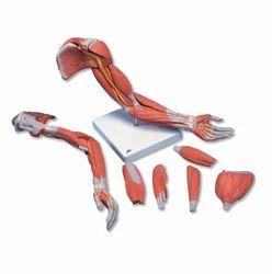Human Muscle Models
