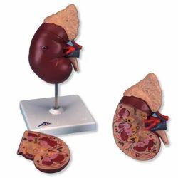 Kidney Model Eiliur