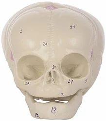 Human Fetal Skull ZX-1201 Models