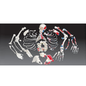 Disarticulated Human Skeleton Bone Set/ Disassembled Skeleto