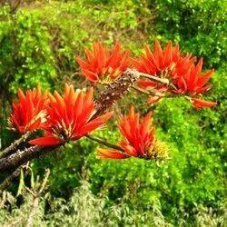 Erythrina Indica Plant
