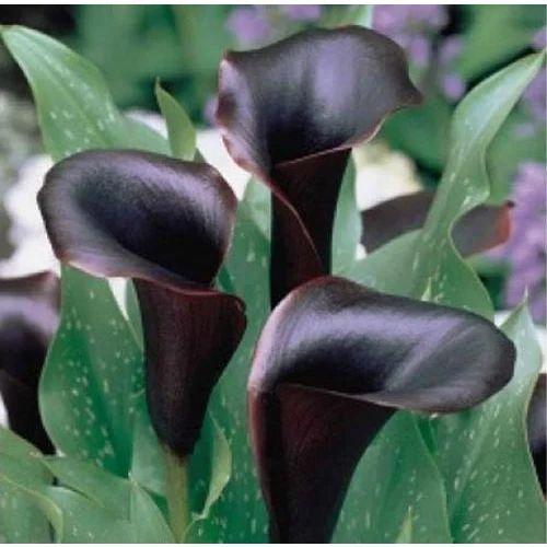 calla lily black bulb at rs 45 piece flower bulbs id 15000955088