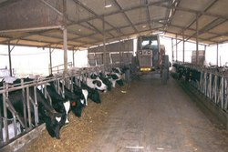 Dairy Farm Sheds Prefabricated