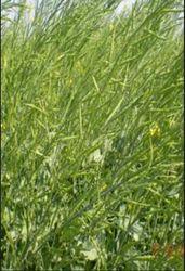 Green Ajeet-101 Mustard