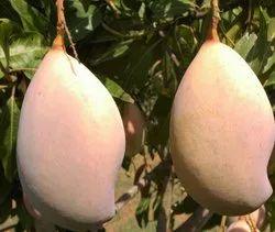 Yellow Organic Totapuri Mango