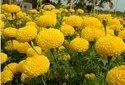 Yash Yellow Marigold Plant
