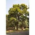Madhuca Longifolia Tree