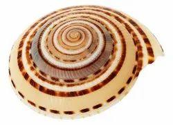 Kesar Zems Vishnu Chakra - Vishnu Shankh - Sea Shell (4 cm x 3.5 cm x 1.5 cm)