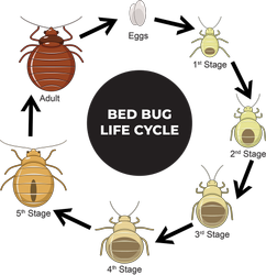Bed Bugs Pest Control in Delhi Ncr
