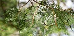 Thuja - Morpankhi - Platycladus Orientalis - Vidhya