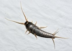 PCIS Residential Silverfish Pest Control Services