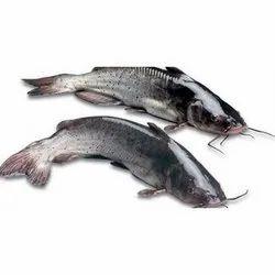 Indian Cat Fish