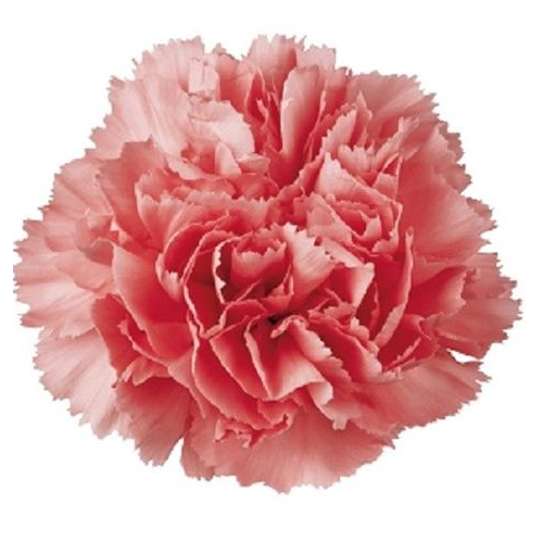 Hybrid Carnation Flower For Gifting Rs 150 Bunch Crazyflora Id