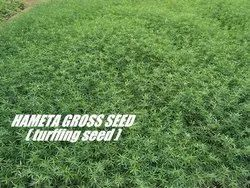 Natural Stylo Hamata Grass Seeds, For Fodder