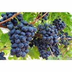 A Grade Fresh Black Grapes, Packaging Type: Carton, Packaging Size: 10 kg, 15 kg