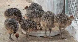 Ostrich Chicks And Fertile Ostrich Eggs