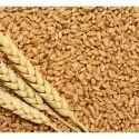 Natural Wheat Seeds, For Agriculture, Packaging Type: Pp Bag