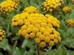 100% Natural Aromatic Helichrysum Essential Oil