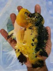 Golden bas flowerhorn fish