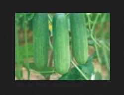 Shalini  F1 Cucumber