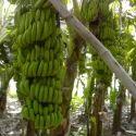 G-9 Banana