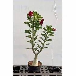 Adenium Arebicum (Sabi Star) Plant
