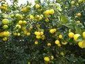 Kagdi Lemon Plants Tissue Culture