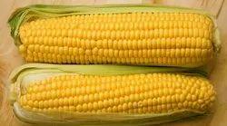 Nazim Indian Corn, For Edible, Organic