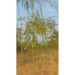 Nutritional Moringa Seeds