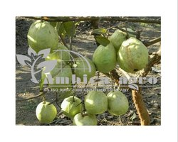 Tissue Culture Thai Guava Plants