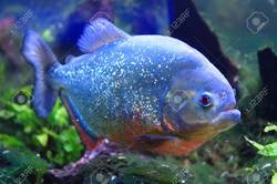 Piranha Fish - Wholesale Price for Piranha Fish in India