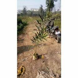 Full Sun Exposure Kaner Plants