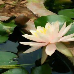 Lotus Plant Wholesale Price Mandi Rate For Lotus Plant