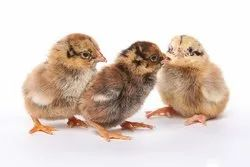 Cornish Chicks