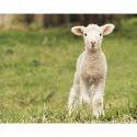 Organic Lamb Feed