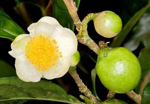 Camellia Sinensis Extract