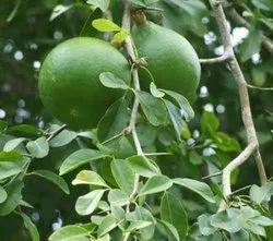 10 Unit Seeds For Aegle Marmelos Bel Tree Bilva Patra Seeds